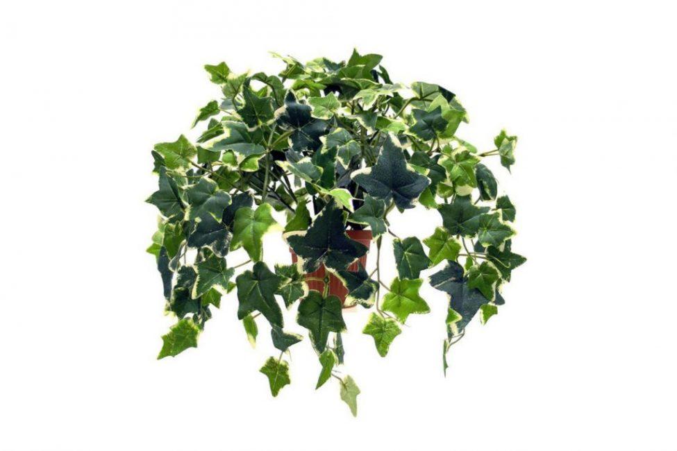 Плющ вечнозеленый
