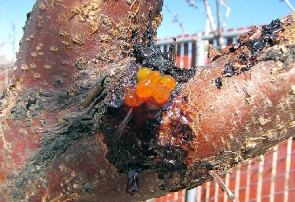 Гриб Валса – характерное для абрикоса фунгицидное заболевание. Лечится специальными противогрибковыми спреями