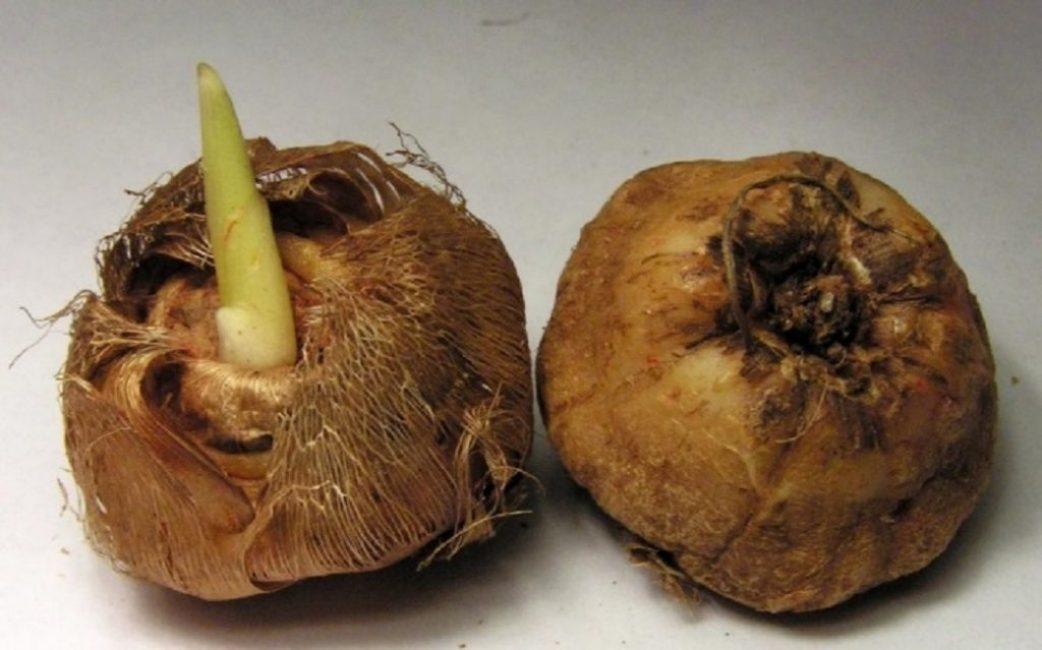 Хранить луковицы нельзя в комнатных условиях, нужно обеспечить им прохладу