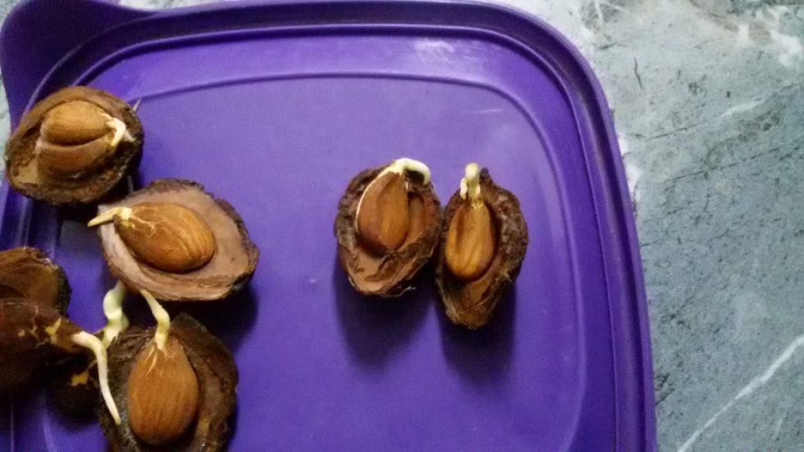 Как вырастить абрикос из косточки, посадка