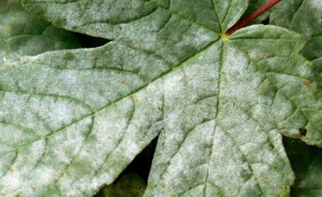Мучнистую росу легко распознать по характерному белёсому налёту на листьях