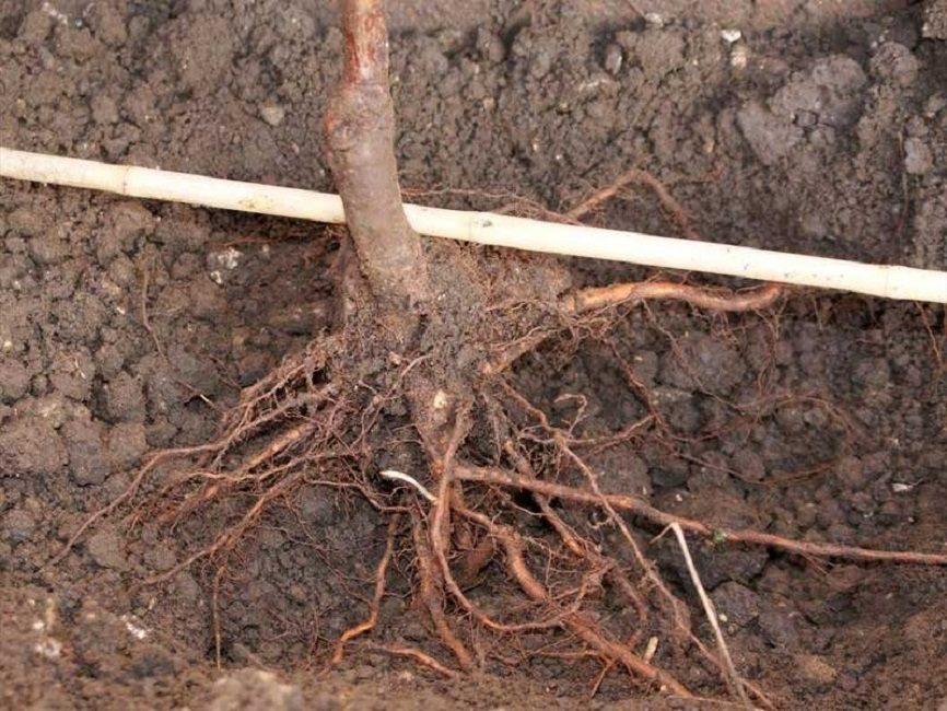 Привитый саженец персика перед посадкой в яму