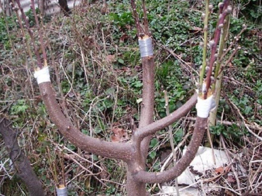 Прививка персика в расщеп на сливу