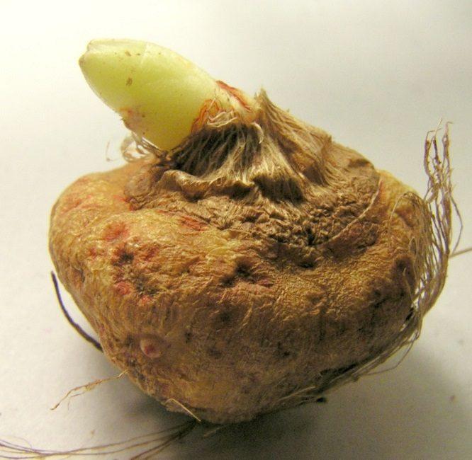 Самой распространенной проблемой является переувлажнение – это приводит к гниению луковицы