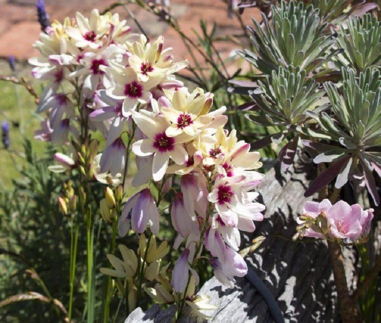Соцветие у растения колосовидное