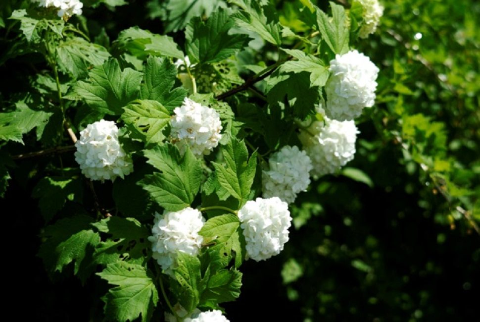 Соцветия декоративных сортов, состоящие из бесплодных цветков