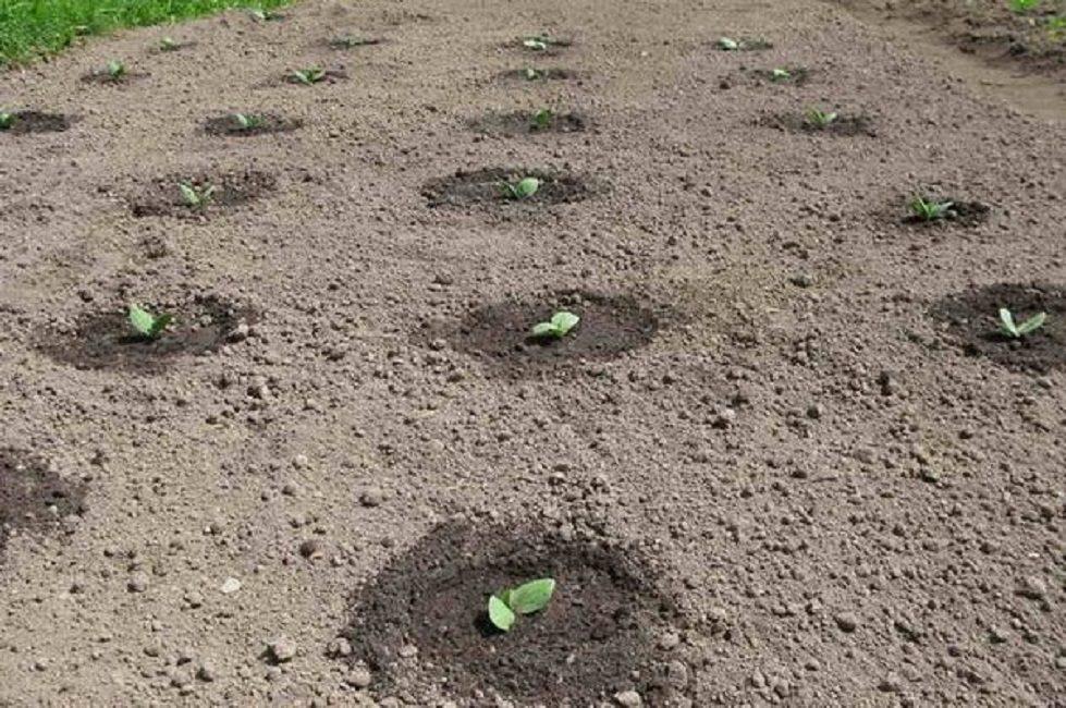 Тыкву высаживают на улице в последних числах мая