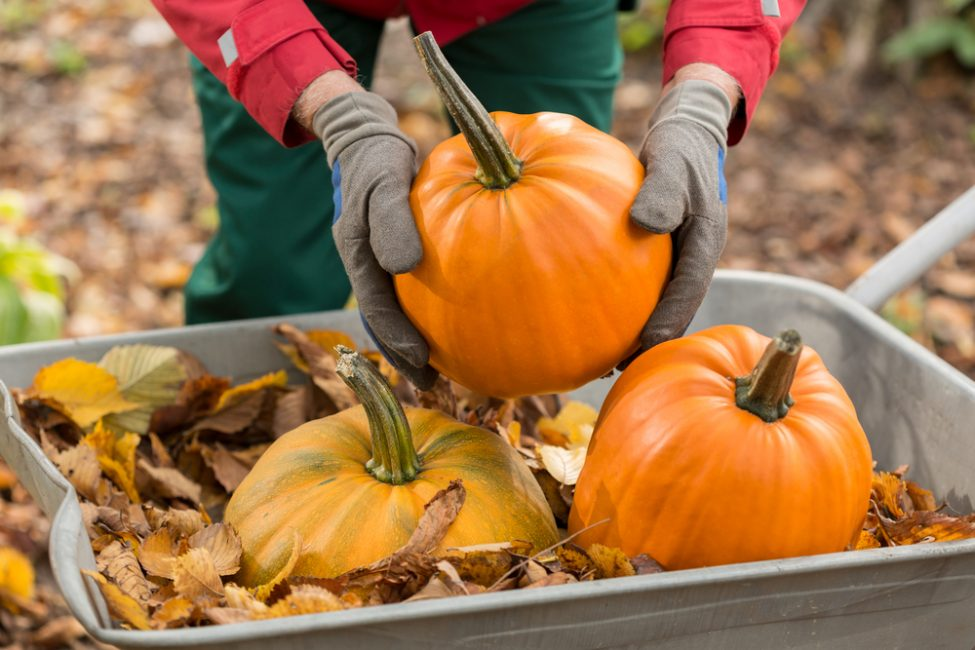 Несоблюдение стандартных правил при сборе урожая приводит к его ранней гибели