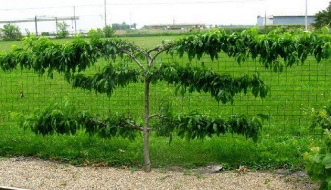 Выращивание персиков на горизонтальных шпалерах в прохладном климате