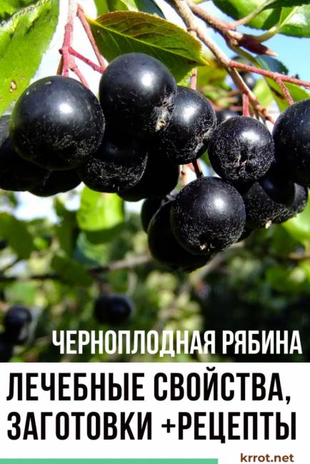 черноплодная рябина