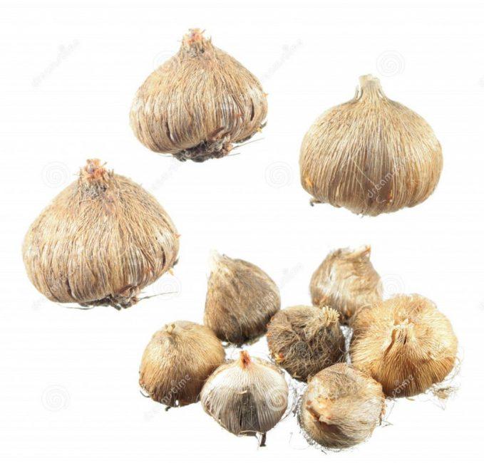 Только высаженные крупные и упругие луковицы зацветают в этом же году