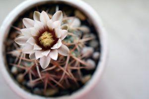 Гимнокалициум в домашних условиях: выращивание, особенности ухода, виды, размножение, цветение | (60+ Фото & Видео)