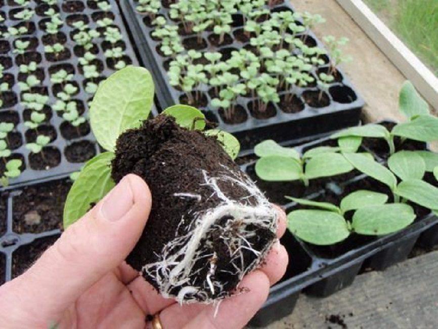 Семена на рассаду лучше высаживать в торфяные кассеты
