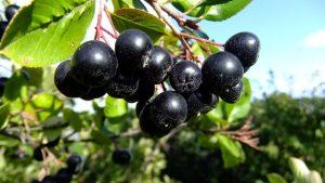 Черноплодная рябина (арония): лечебные свойства и противопоказания для мужчин и женщин, заготовка на зиму +рецепты | (Фото & Видео) +Отзывы