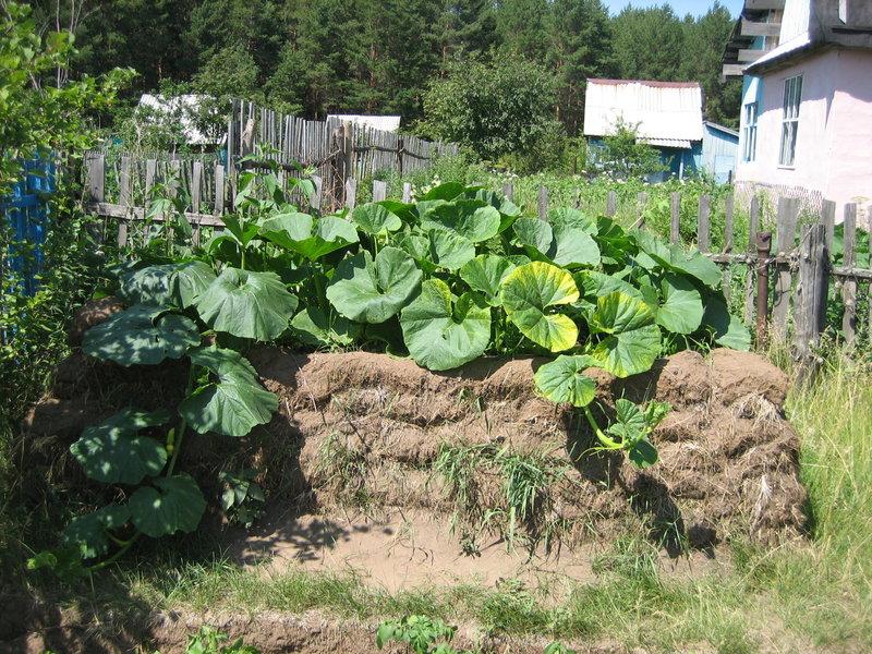 Тыква хорошо растет на компостной куче