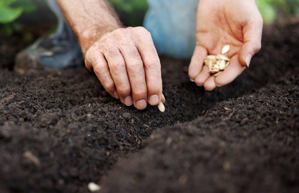 Тыкву высаживают семенами