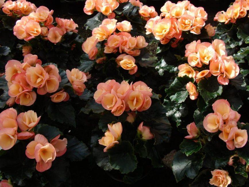 Ухоженные бегонии радуют своим цветением