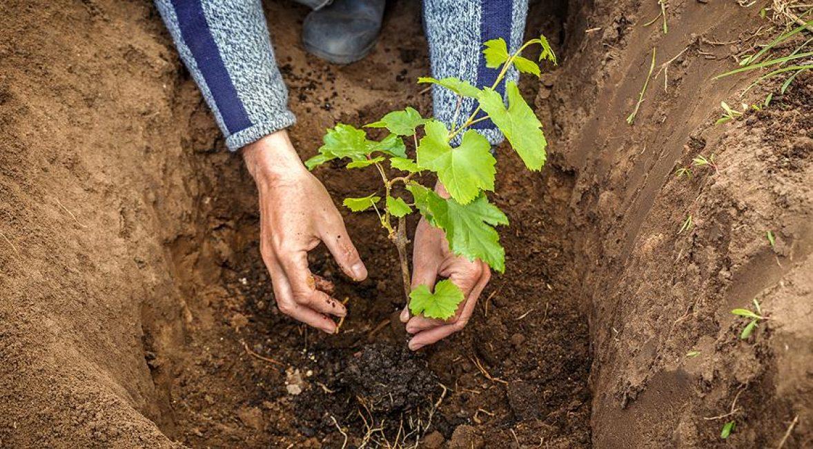 Заполнение ямы производят медленно, постепенно укрывая корни землёй, добавляя её горстями