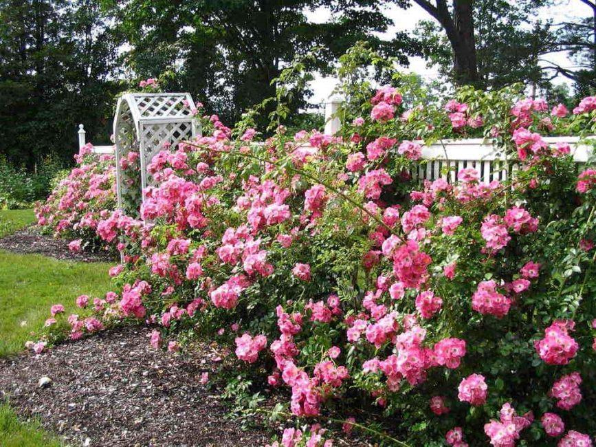 Среди роз нет тенелюбивых представительниц, поэтому саженцы высаживают только на открытые солнцу участки с достаточным утренним и вечерним освещением