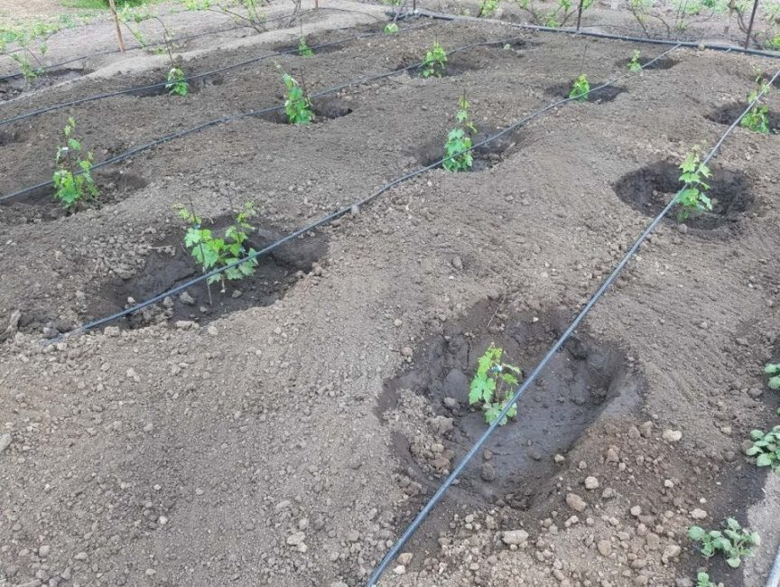 Полив виноградных кустов в процессе посадки