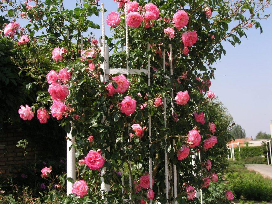 Прочная опора – обязательное условие выращивания кустарника