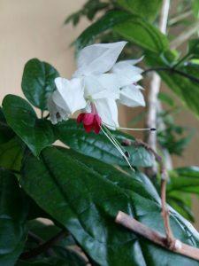Клеродендрум домашний: описание, виды, уход, размножение, как заставить цвести | (65+ Фото & Видео) +Отзывы