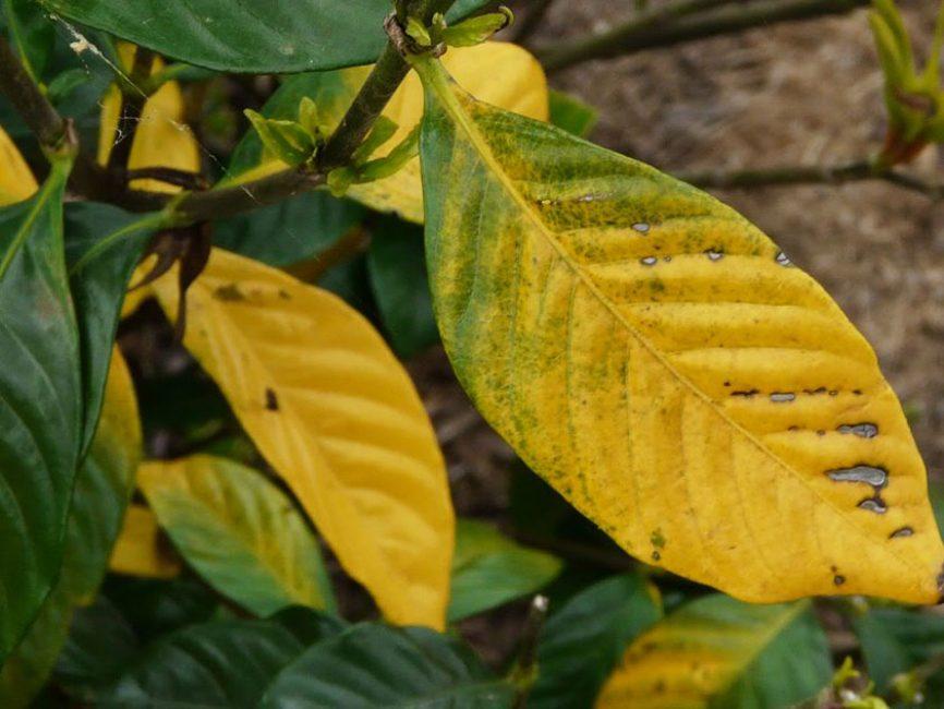 Пожелтение листочков
