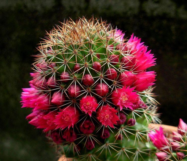 Цветущая маммилярия может иметь до сотни цветков