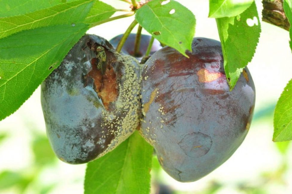 Плодовая гниль – самое распространённое заболевание сливы, вызываемое аскомицетовыми грибками семейства Monilia