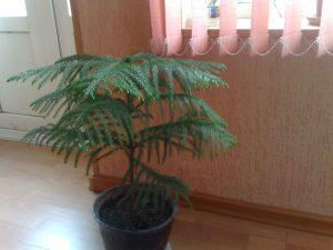 Араукария комнатная: описание, выращивание и секреты ухода, размножение | (65+ Фото & Видео) +Отзывы