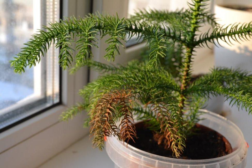 Растение недополучает влагу: засыхающие ветки