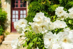 Полиантовые розы: описание 11 сортов, особенности выращивания из семян в домашних условиях   (75+ Фото & Видео) +Отзывы