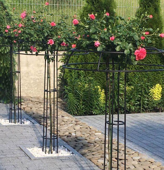 Розу, посаженную весной можно формировать штамбом