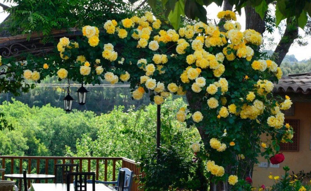 Чтобы куст выглядел опрятно и долго цвел, регулярно удаляют увядшие соцветия