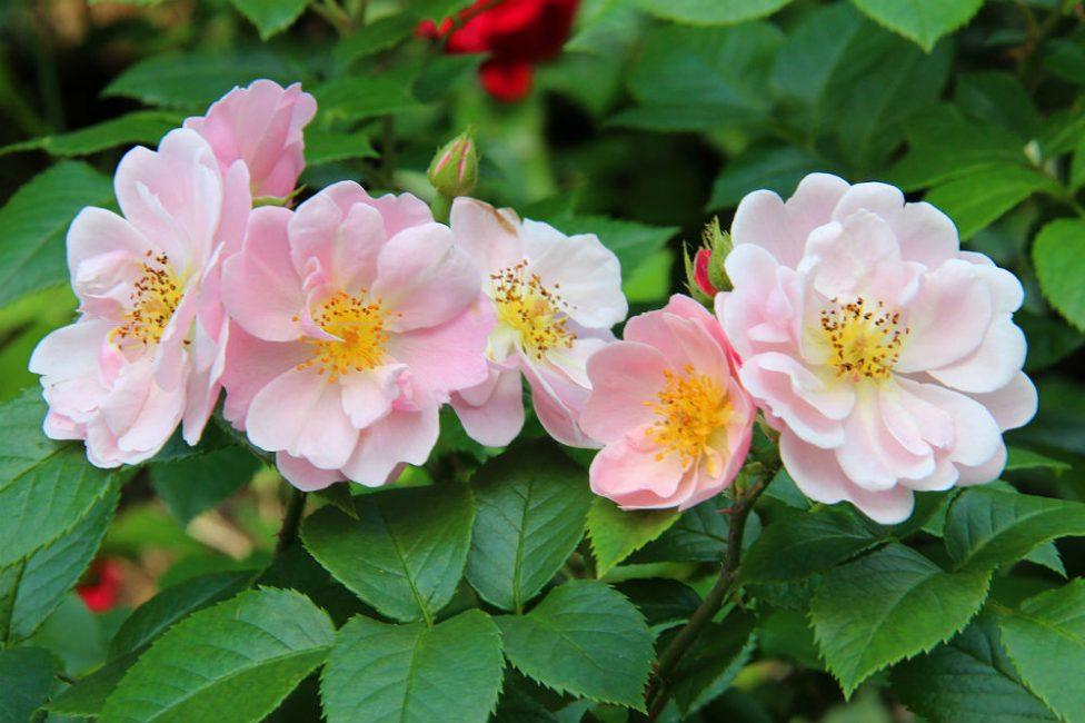 Для здорового развития и пышного цветения требуется правильный уход