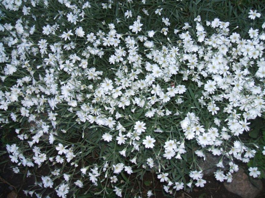 Цветки гвоздичных