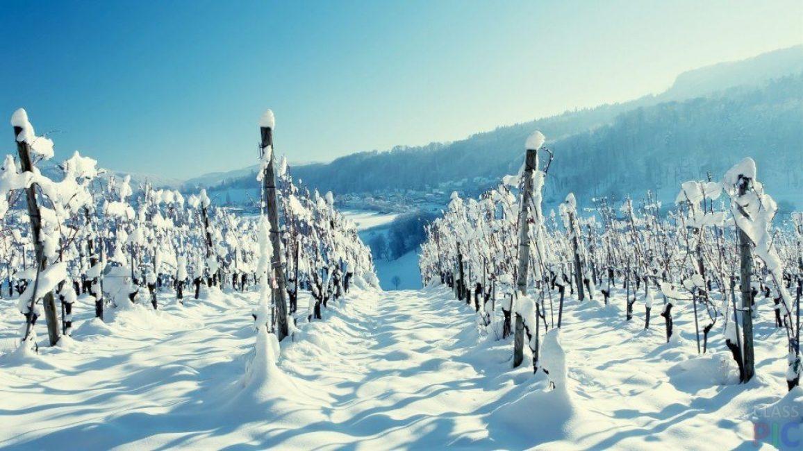 Неукрывной зимостойкий виноград