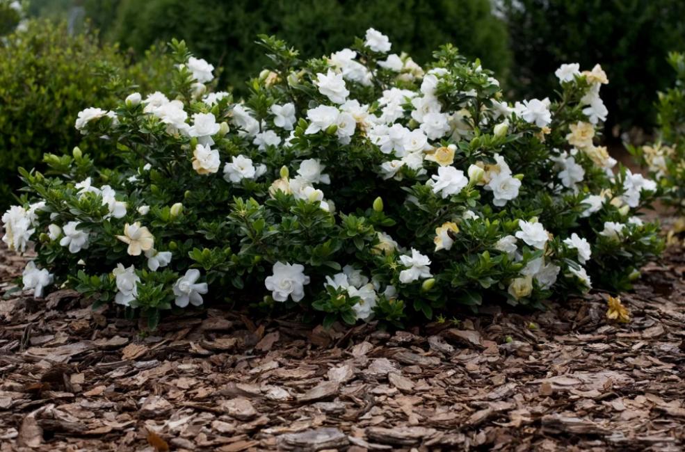 Цветущий кустарник в открытом грунте