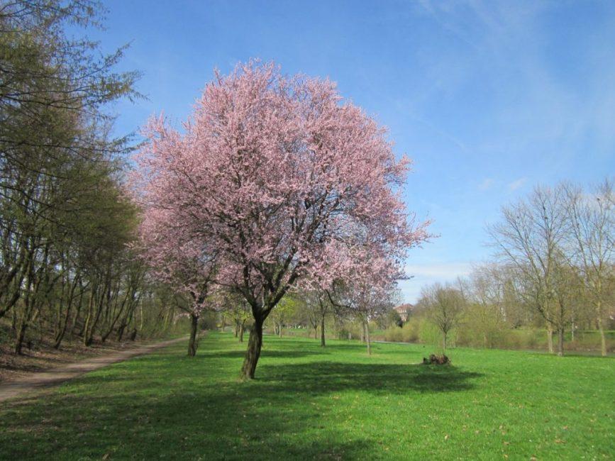 Взрослая слива древовидной формы в период цветения