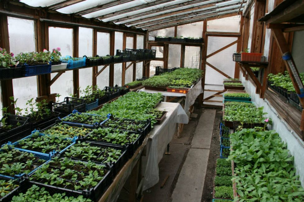 Выращивание в тепличных условиях