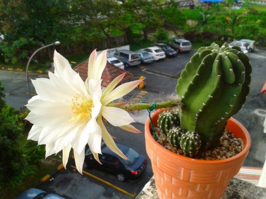 Эхинопсис – самый распространённый род пустынного кактуса, выращиваемый в домашних условиях
