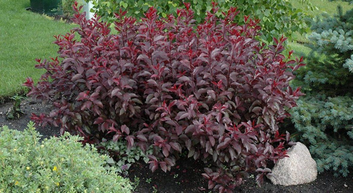 Кустовая разновидность сливы во время вегетации