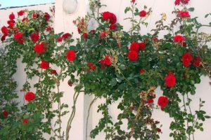 Плетистые розы: описание 20 лучших сортов, посадка и уход, размножение, обрезка   (75 Фото & Видео) +Отзывы