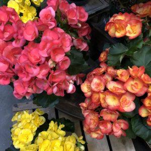 Бегония элатиор: уход, условия для выращивания и размножения в домашних условиях | (45+ Фото & Видео) +Отзывы