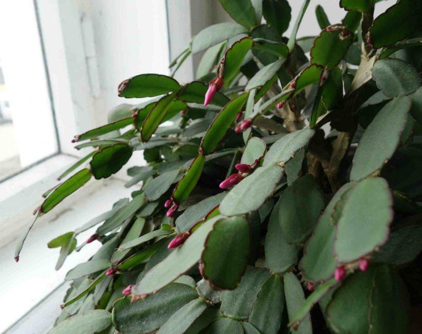 Зигокактус (декабрист) – популярный лесной кактус