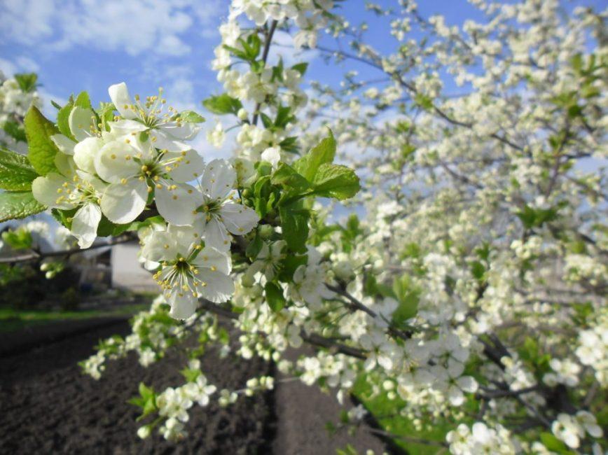 Генеративные почки сливы дают до 3 цветков; они белые, диаметром до 2 см