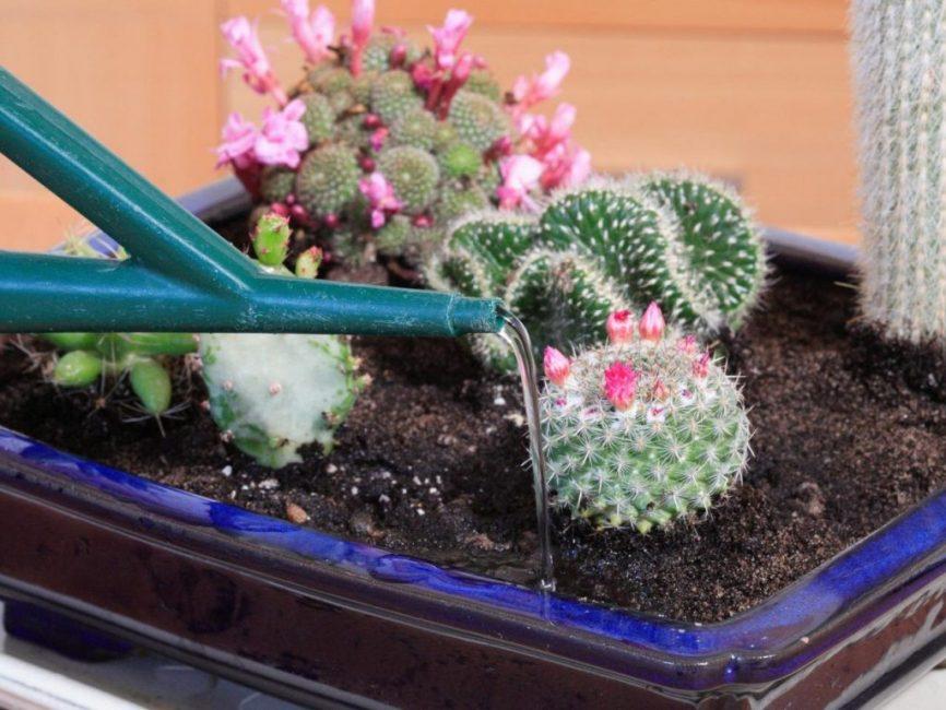 Полив кактусов осуществляется осторожно, без размытия грунта