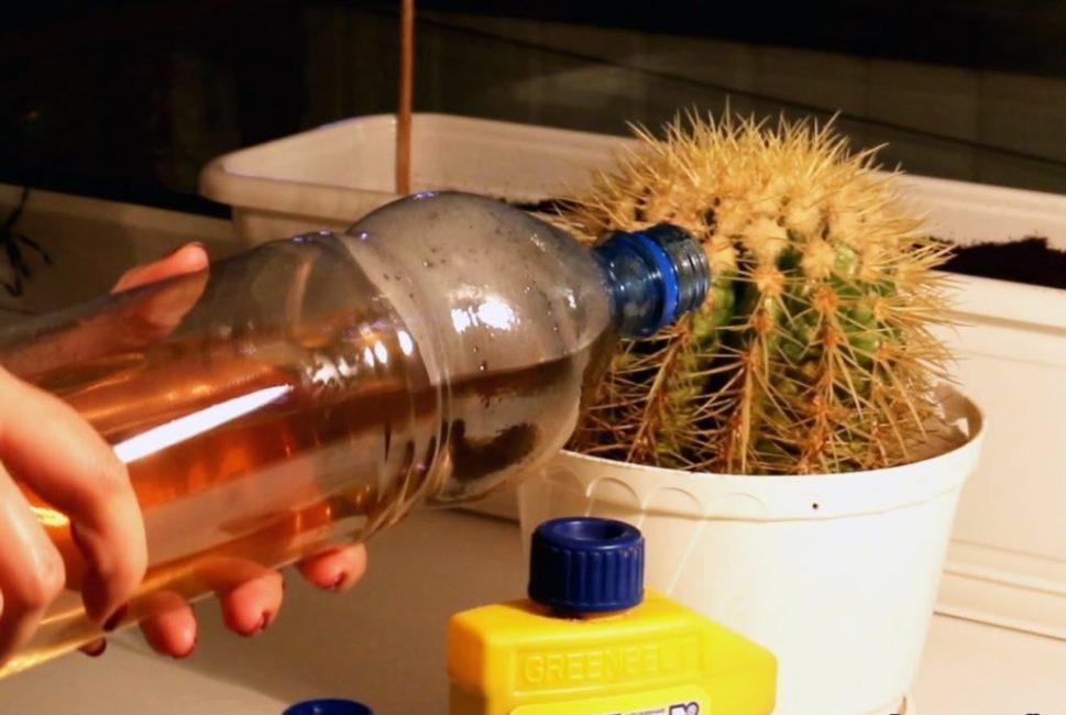 Совмещение полива кактуса с подкормкой
