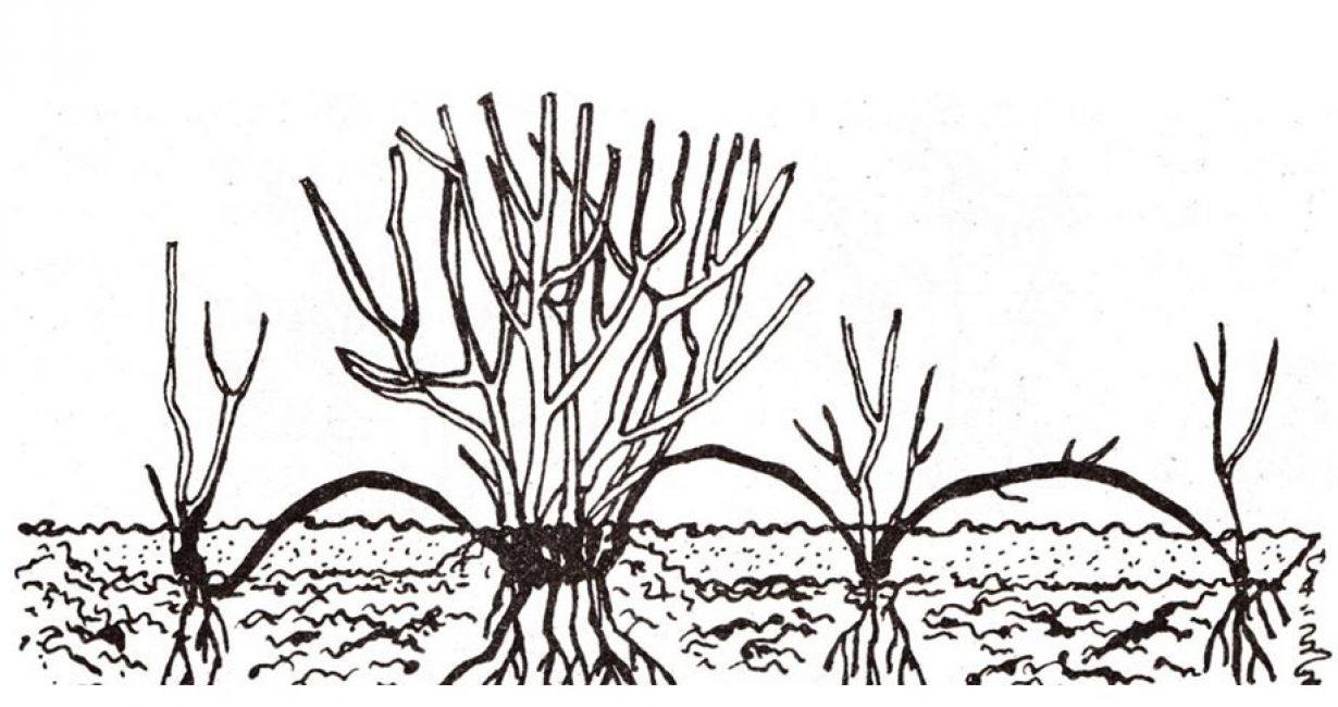 Пример размножения отводками из двух взрослых побегов