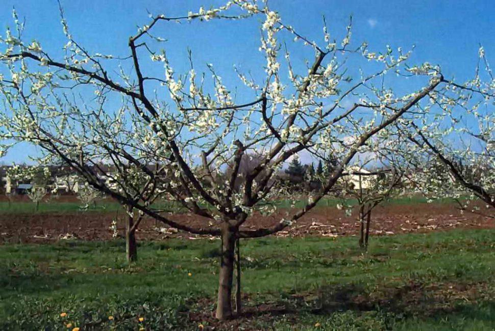 Дерево сливы с умеренно разреженной кроной – оптимальный вариант формирования
